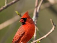cardinal2011